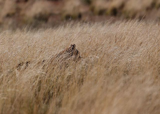 Vi gömde oss i gräset nära det gömda bytet. Efter några timmar dök den här skuggan upp. Det är omöjligt att se pumorna när de gömmer sig i det täta gräset. Är man inte försiktig kan man överrumplas av en puma som hoppar upp ur gräset och fräser.