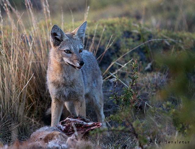 Pumornas byten äts av bland annat rävar och Kondorer. Den här räven  sprang iväg när jag närmade  mig.