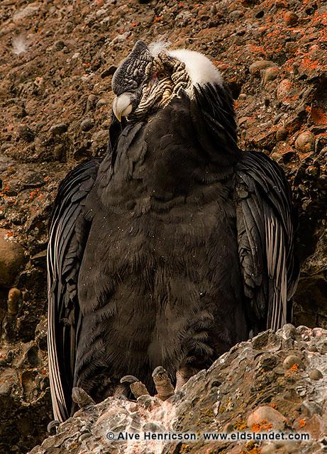 En vuxen kondor vilar sig på en klippvägg i närheten av pumornas jaktmarker.