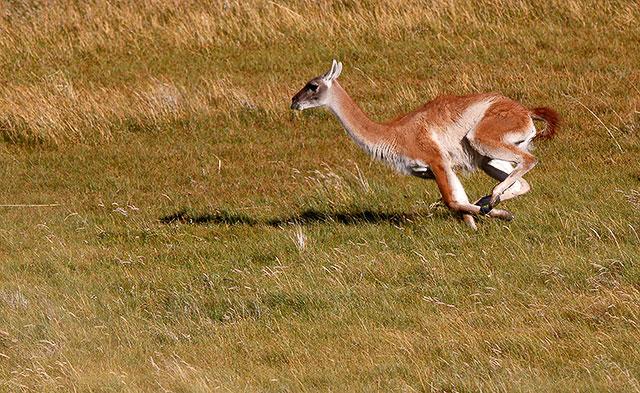 En guanaco jagas av en puma.