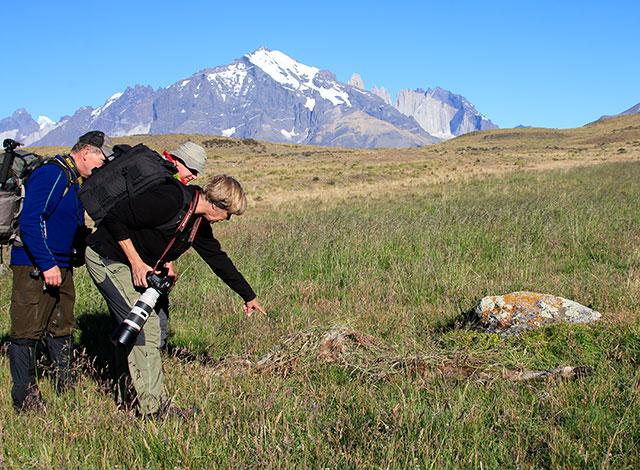 Här hittar vi ett kadaver som pumorna gömt under gräs. Det är ett sätt för dem att lura kondorer som svävar i luften när de spanar efter mat.