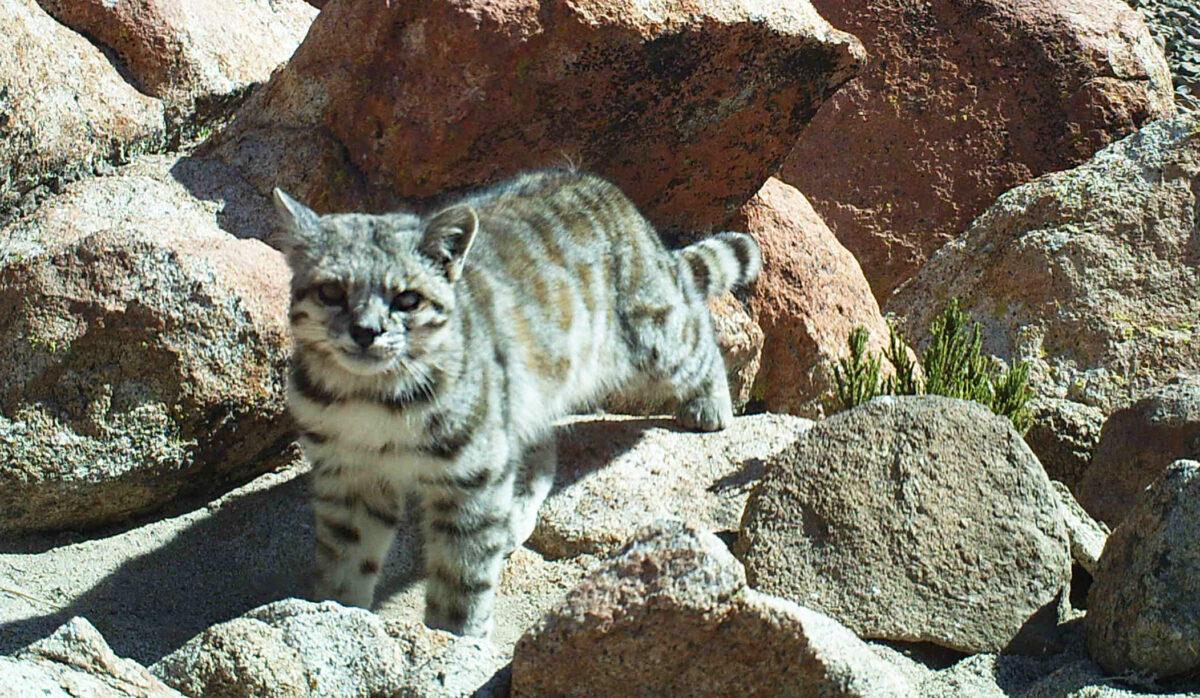 Stöd för bevarande av den andinska katten
